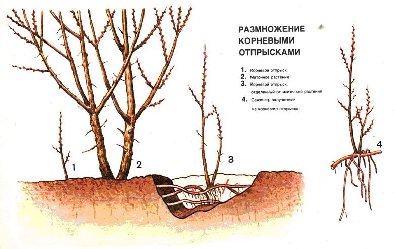Технология выращивания облепихи 3117